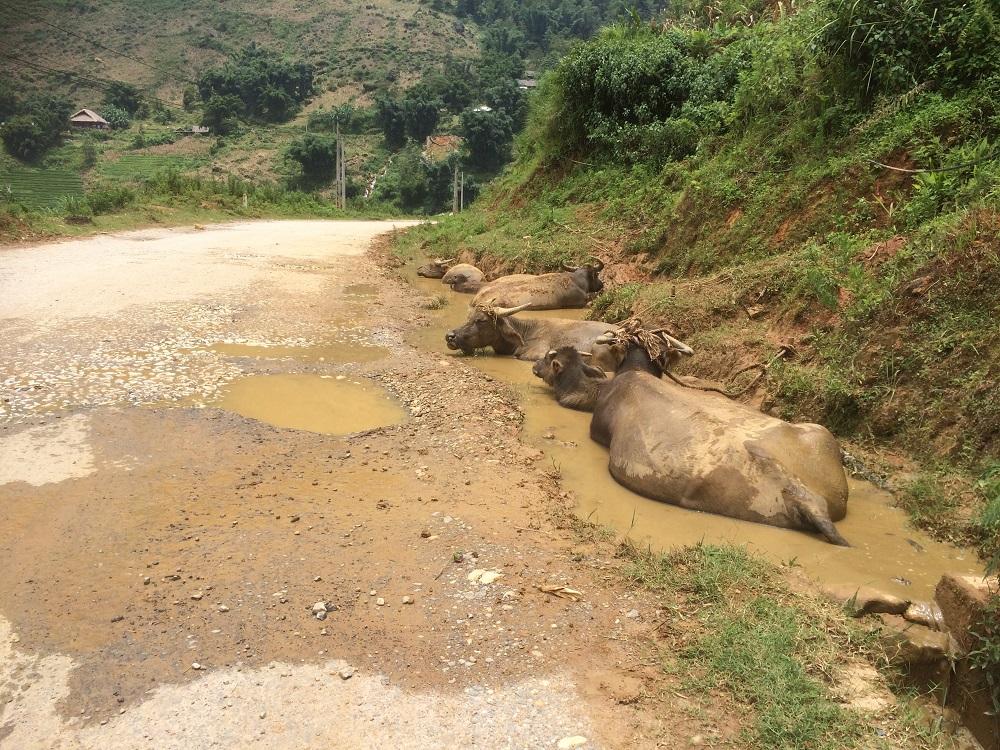 Sapa buffalos next to road