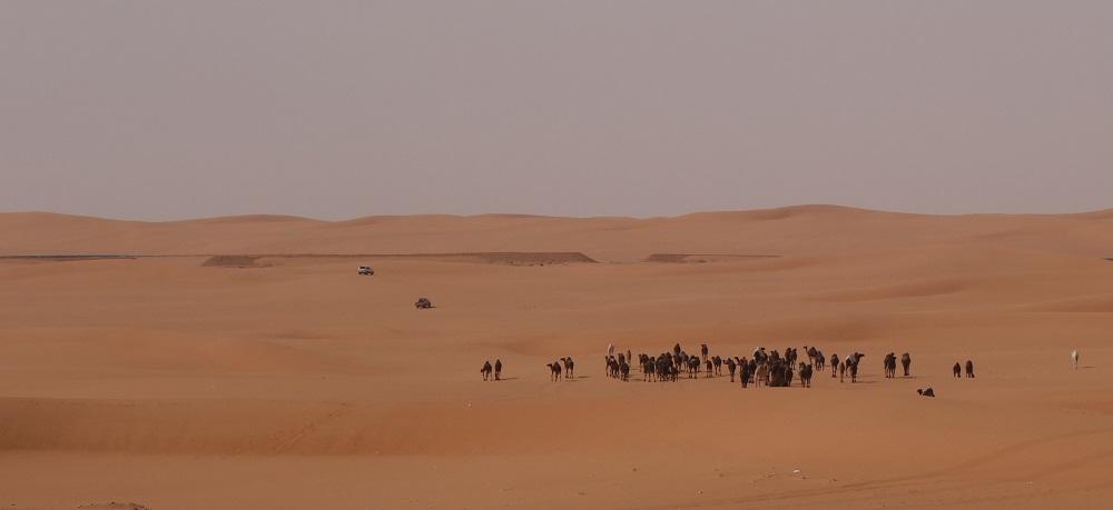 Camels Saudi Arabia