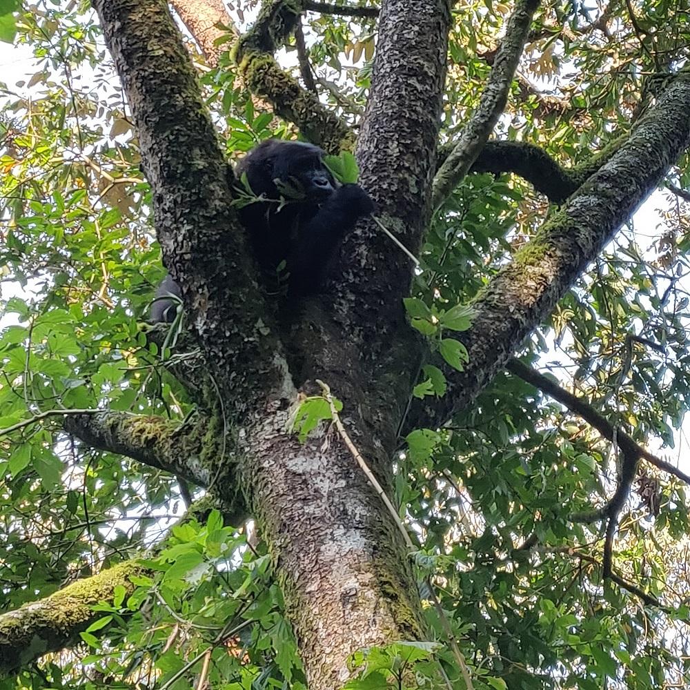 Gorilla in atree in bwindi