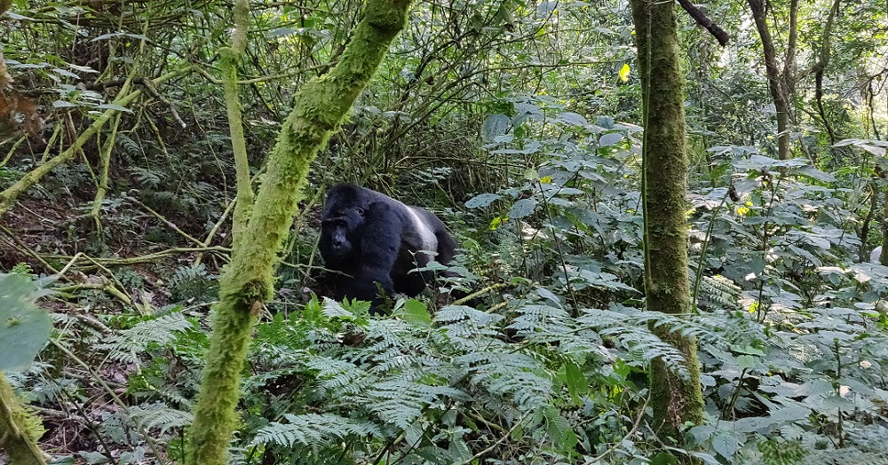 Gorilla silver back in Bwindi