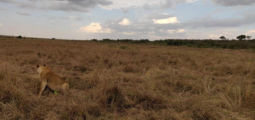 Masai Mara 3 lions