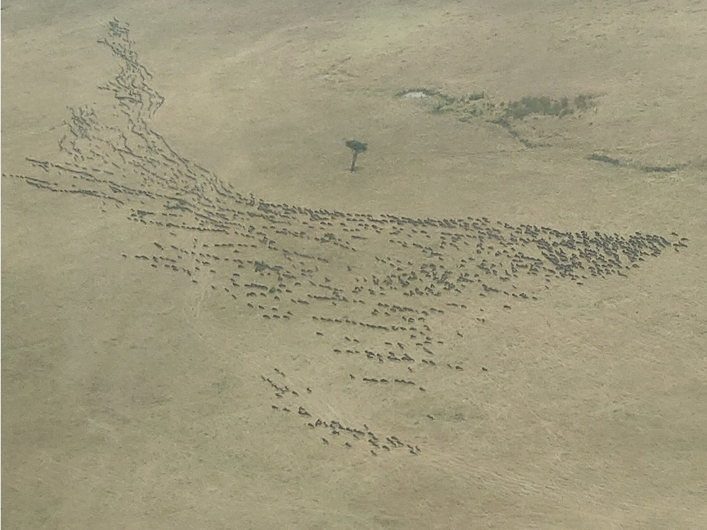 Masai Mara Aerial wildebeest