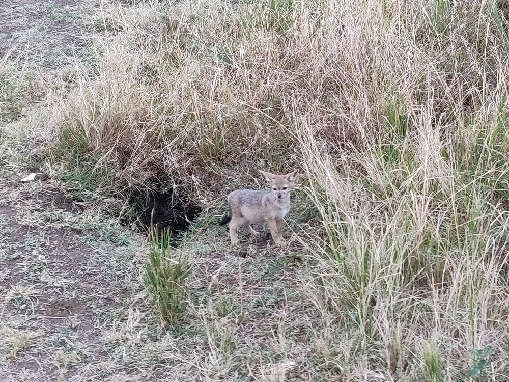 Masai Mara Baby Jackal