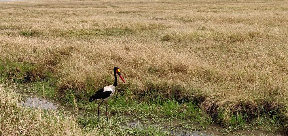 Masai Mara Bird