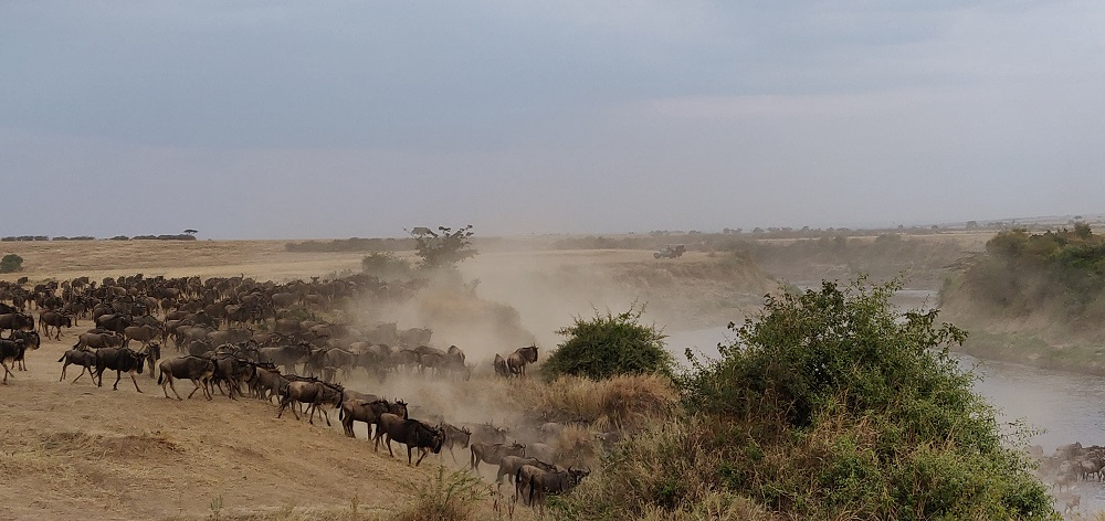 Masai Mara Wildebeest Crossing
