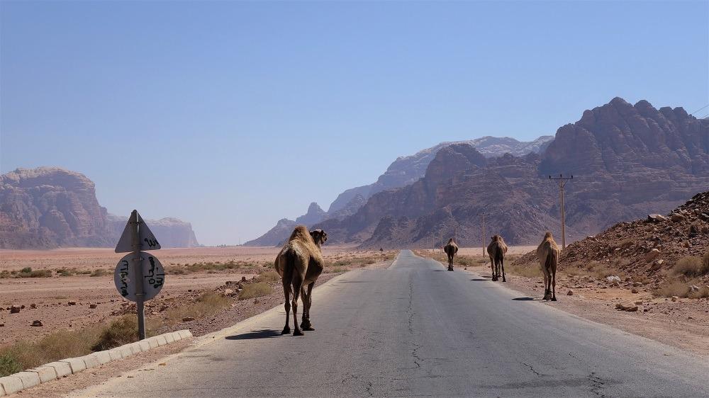 Wadi Rum Camels