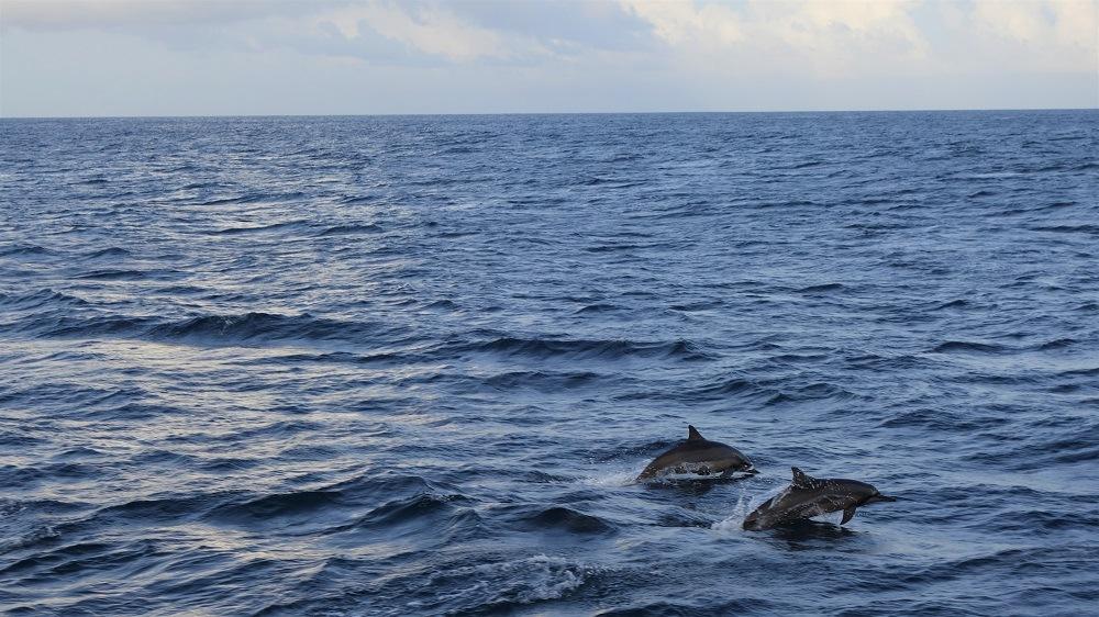 Maldives dolpins