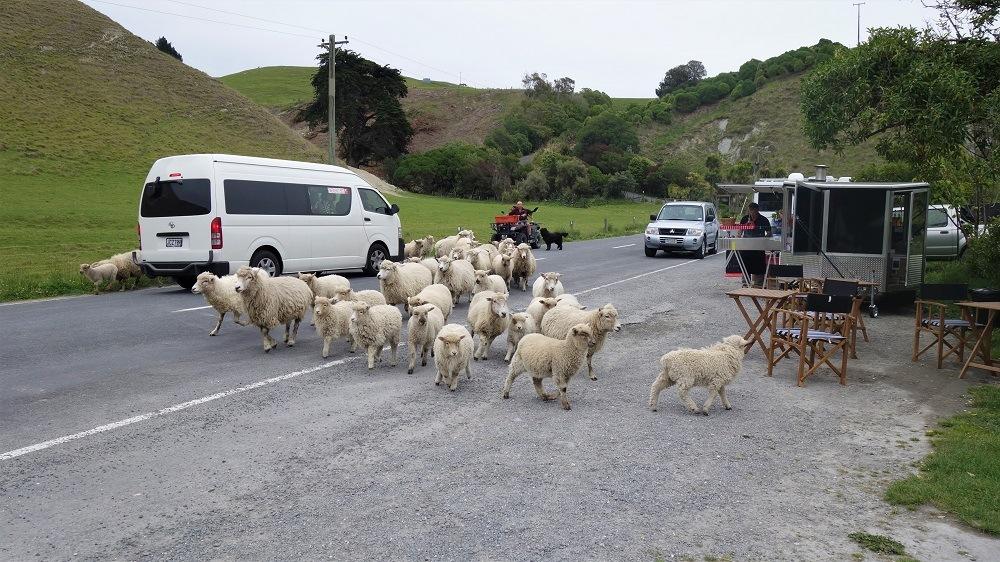 Sheep crossing street
