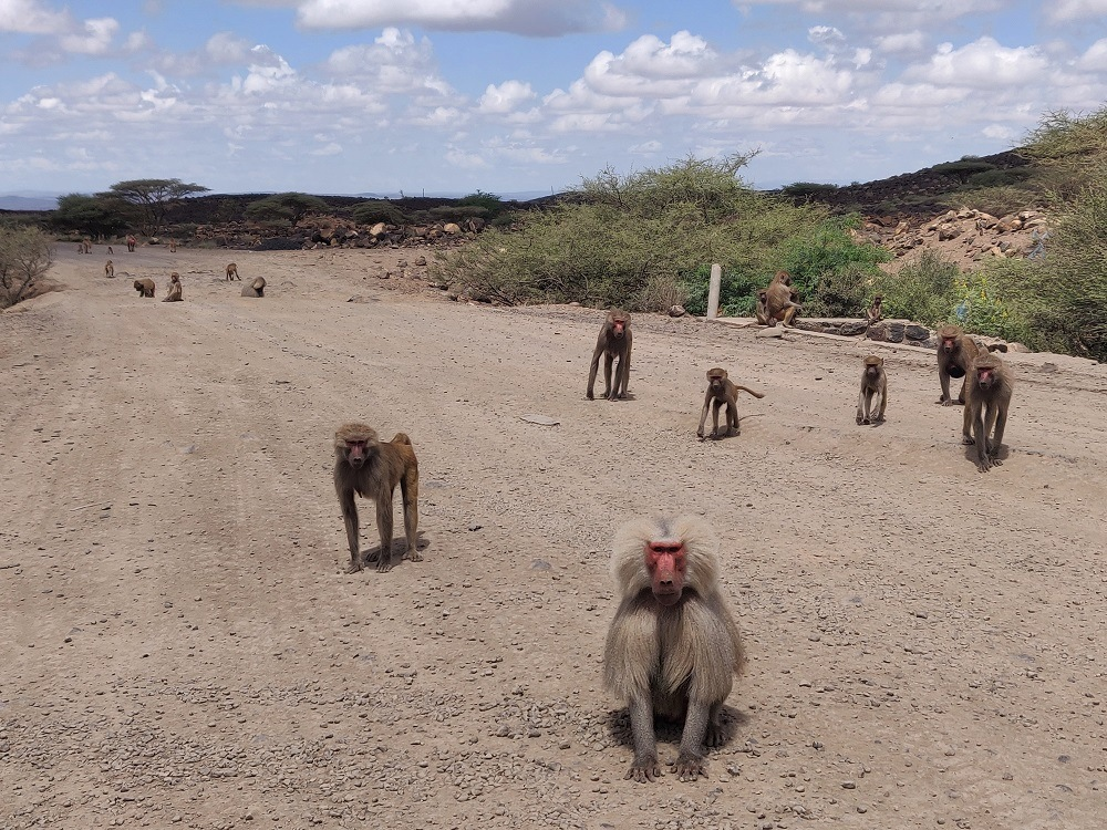 Baboons Djibouti