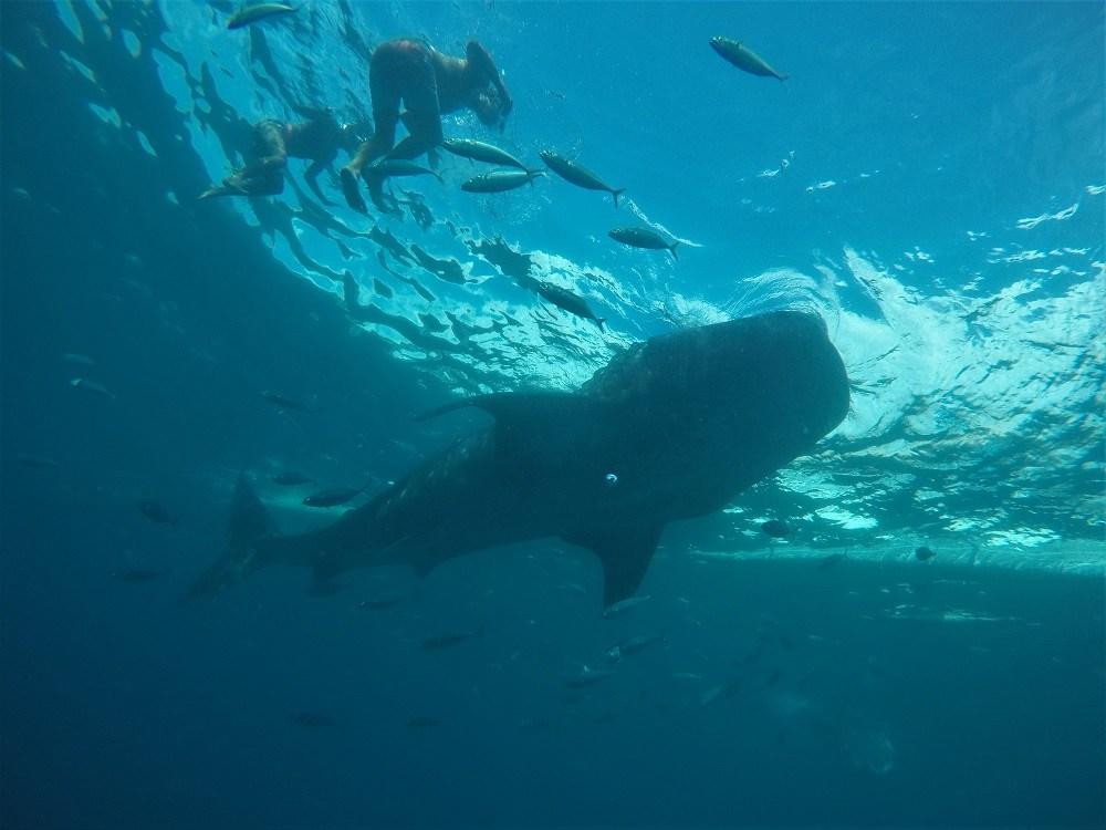 Whale shark snorkelling Oslob Cebu