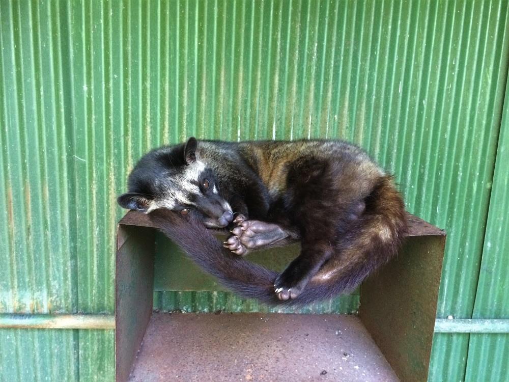 Kopi Luwak civet cat