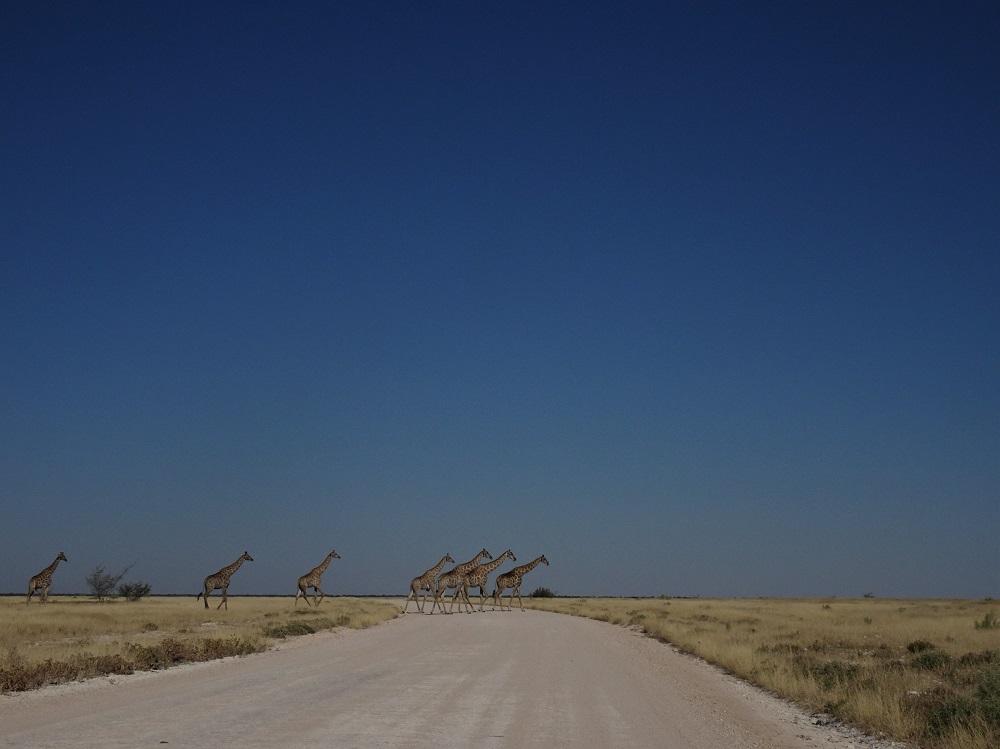 Etosha Giraffe