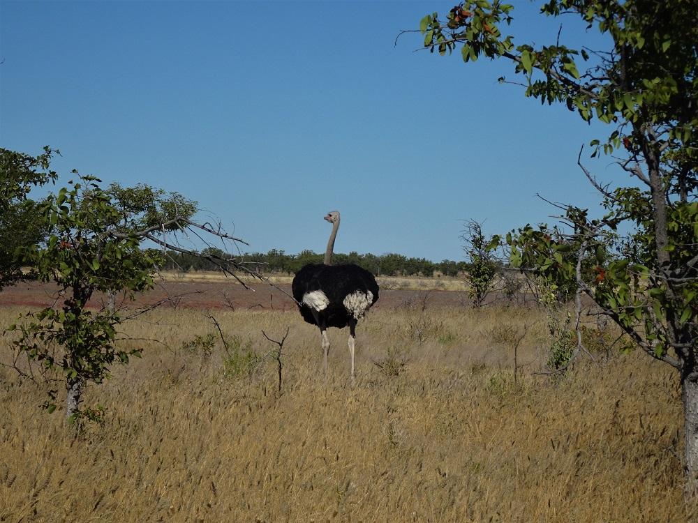 Etosha Ostrich