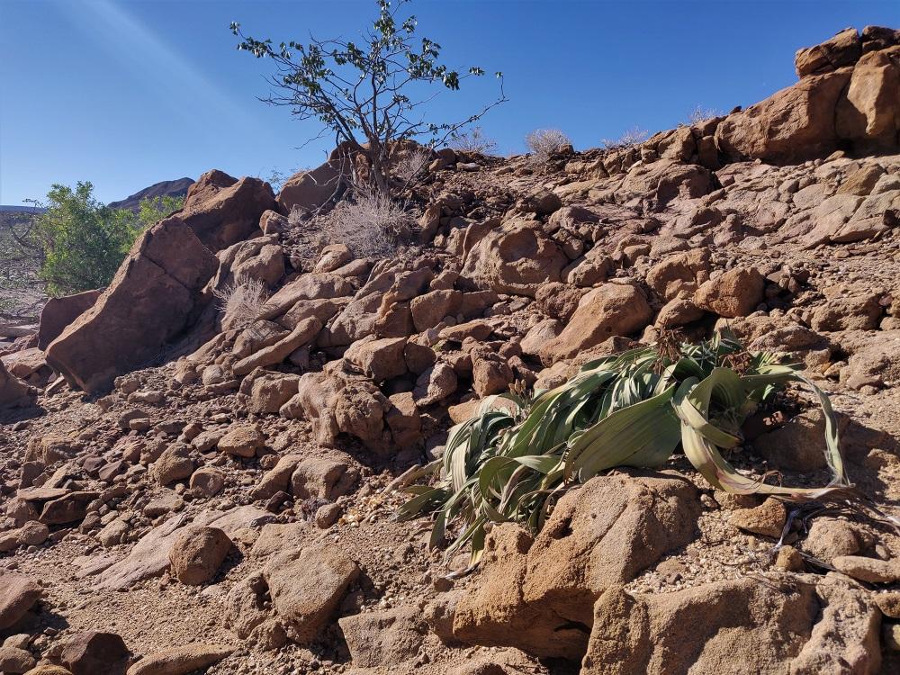 Namibia Petrified Forest Welwitschia