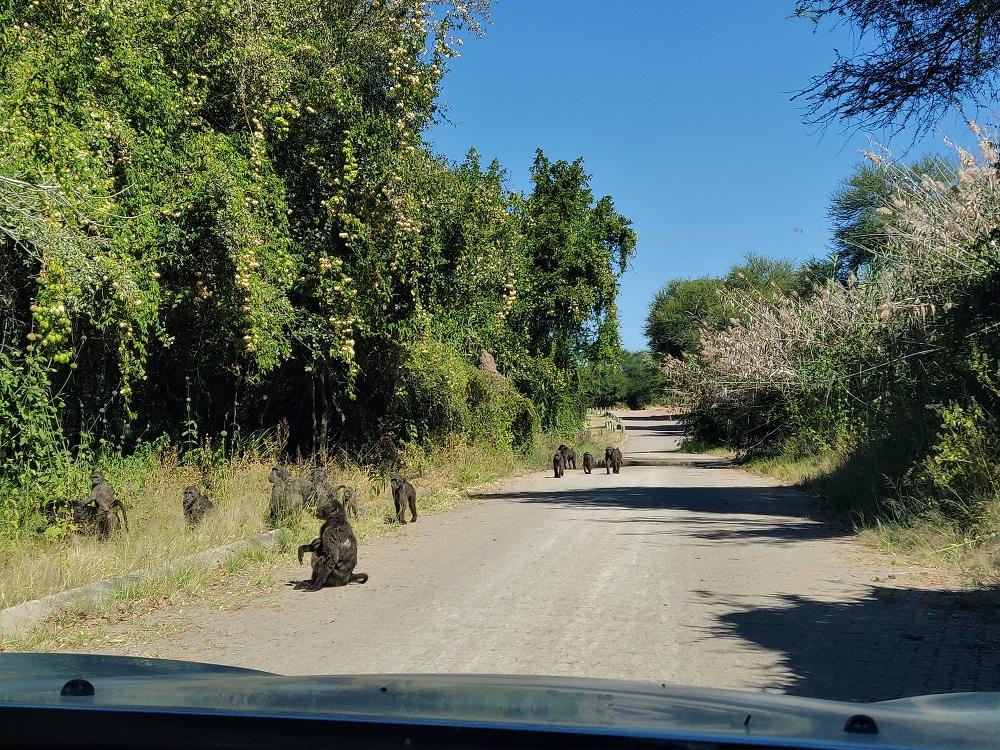 Waterberg baboons Namibia